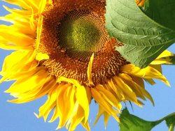 Sunflower2014